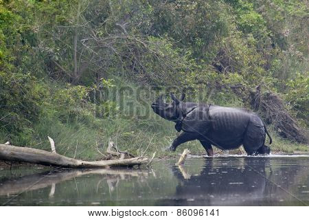 Greater One-horned Rhinoceros In Bardia, Nepal