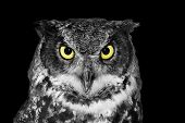 Great horned owl Bubo virginianus in black and white except yellow eyes poster
