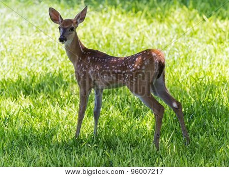 Frightened White Tail Fawn