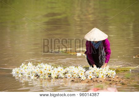 Water Lily Flowers (nymphaea) Prepared In Roll For Sale. This Is Used Vegetables, Soft, Fresh And De