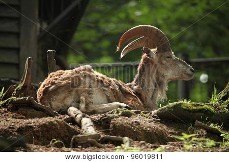 Bukhara urial (Ovis orientalis bochariensis). Wildlife animal.