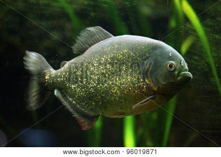 Red-bellied piranha (Pygocentrus nattereri), also known as the red piranha. Wildlife animal.