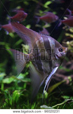 Deep Angelfish (Pterophyllum altum), also known the Orinoco angelfish. Wildlife animal.