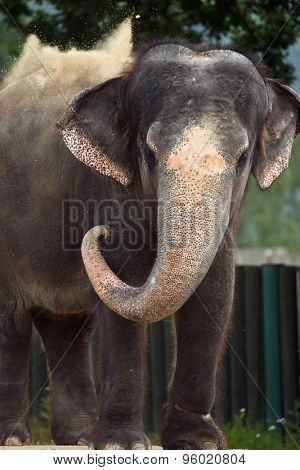 Indian elephant (Elephas maximus indicus) uses trunk to throw sand on its back. Wildlife animal.