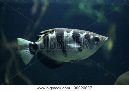 Banded archerfish (Toxotes jaculatrix), also known as the spinner fish. Wildlife animal.