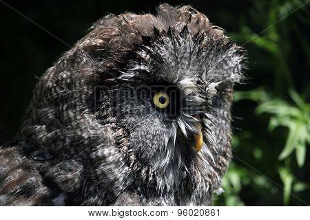 Great grey owl (Strix nebulosa). Wildlife animal.