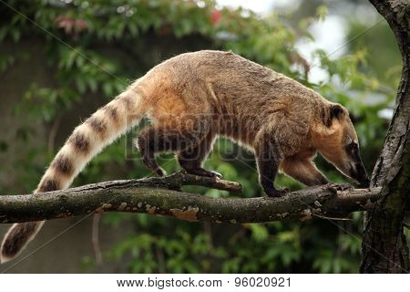 South American coati (Nasua nasua), also known as the ring-tailed coati. Wildlife animal.