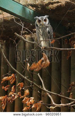 Southern white-faced owl (Ptilopsis granti). Wildlife animal.