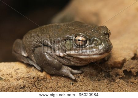 Colorado river toad (Incilius alvarius), also known as the Sonoran desert toad. Wild life animal.