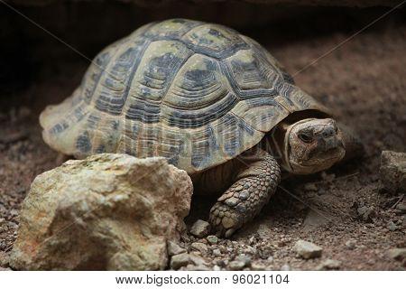 Hermann's tortoise (Testudo hermanni). Wild life animal.