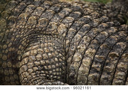Nile crocodile (Crocodylus niloticus) leather texture. Wild life animal.