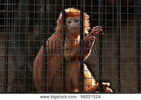 Javan lutung (Trachypithecus auratus), also known as the Javan langur. Wildlife animal.