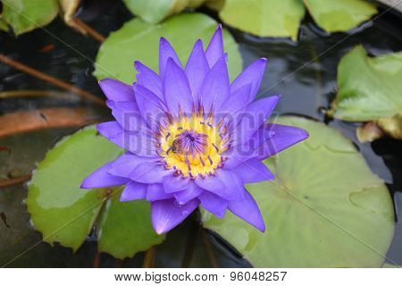 water lily lotus flower and bee