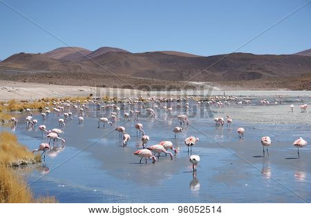 Pink flamingos in wild nature of Bolivia