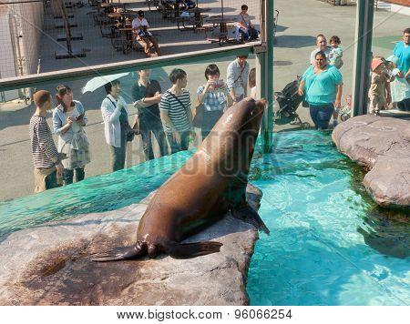 California Sea Lion In Ueno Zoo, Tokyo, Japan
