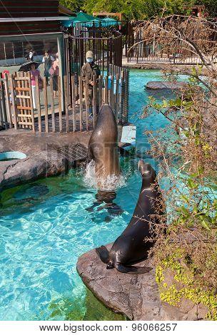 Feeding Of California Sea Lions In Ueno Zoo, Tokyo