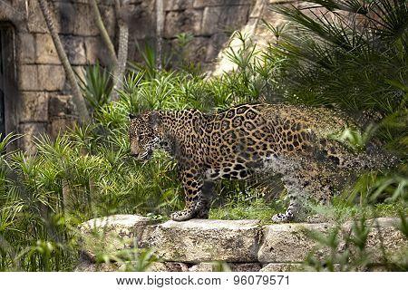 Endangered Jaguar