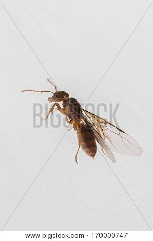 Male ant with wings ready for nuptial flight on white background. After leaving the colony males fly out and mate with the queen who will find a place to start a new nest. Males will die within the next few days.