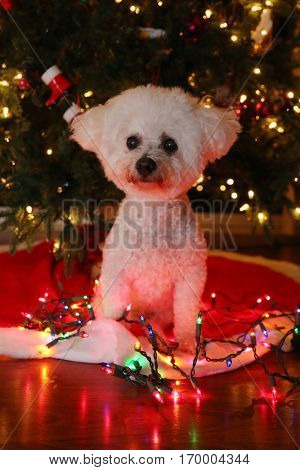 A beautiful Bichon Frise dog sits in front of a Christmas Tree with Colored Lights and reflections for Christmas.