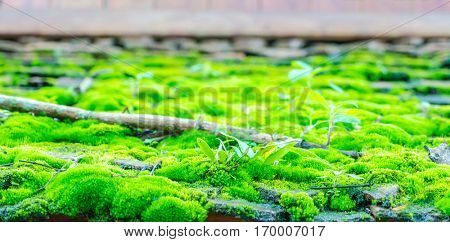 Green moss on the wood roof