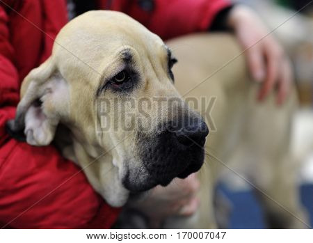Great Dane at dog show in Moscow.
