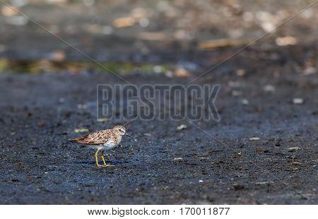 Least Sandpiper ( Calidris minutilla ) wild bird standing on ground