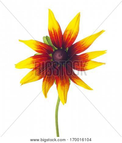Black-eyed Susan (Rudbeckia ) isolated on a white background.