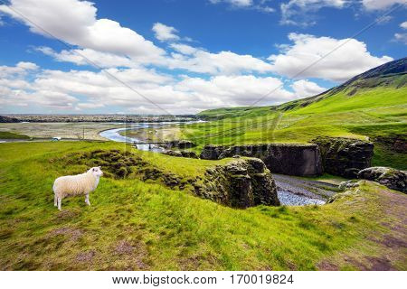 White sheep grazing on the cliff.  Bizarre cliffs surround the stream with glacial water. The Icelandic Tundra in July