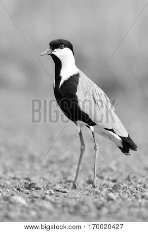 Spur-winged lapwing (Vanellus spinosus) in natural habitat