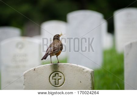 A nest preparing bird posing on a tombstone in Arlington National Cemetery, Washington DC
