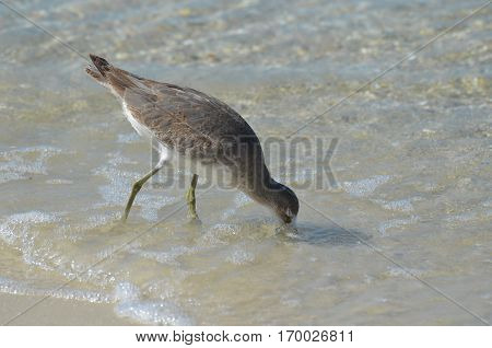 Shorebird fishing in shallow water off the beach.