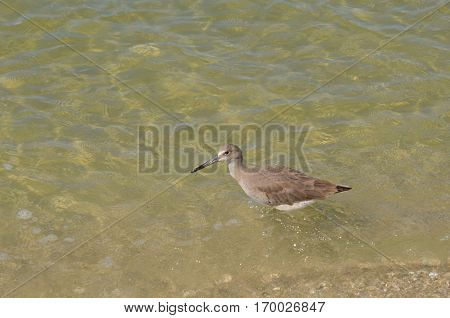 Shorebird taking a plunge in the ocean water.