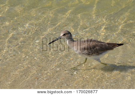 Sandpiper wading in shallow water on the edge of the beach.