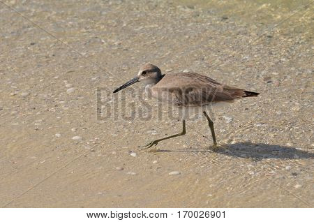 Adorable sandpiper walking along in shallow water in Florida.