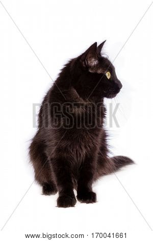 Turkish Angora black cat with long hair looking to the side isolated on white background.