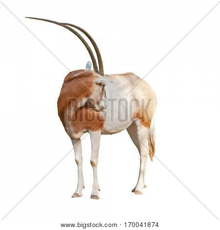 Scimitar Oryx or Ory Dammah grooming isolated on white background cut out.
