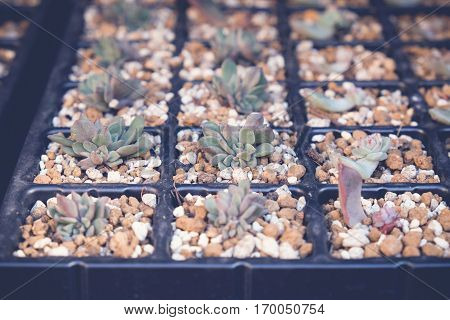 growing agave succulent plants in nursery tray selective focus toning