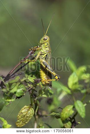 Grasshopper hiding behind mint leaves