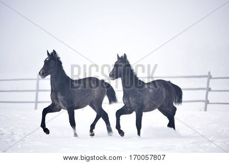 Beautiful horses playing outdoor in winter foggy day