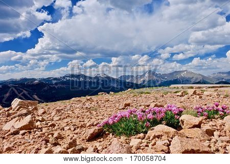 Alpine pink Clover flowers on mountains. Trifolium alpinum or Mountain Clover at Monarch Pass near Denver. Colorado. United States.