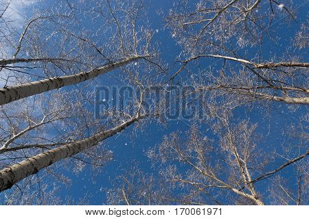 Winter Photo of Blue Sky Surrounded by the Treetops. Hoarfrost Falling From the Branches
