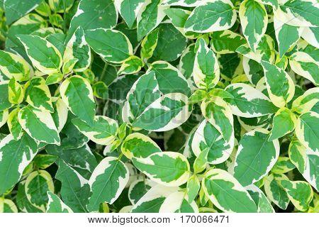 Golden pothos or devil's ivy ornamental plants in thailand.