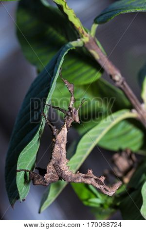 The Stick Insect (phobaeticus)