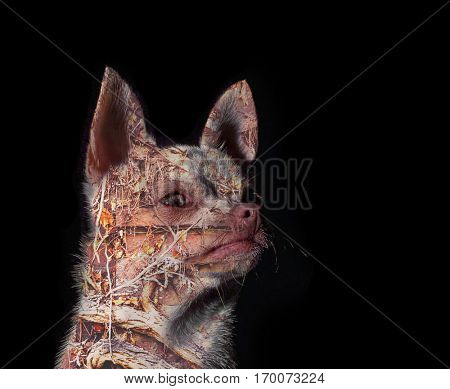 double exposure of a cute chihuahua in natural sunlight with shallow depth of field