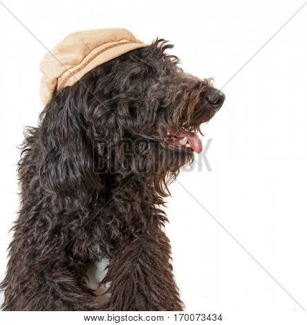 image of a black poodle or labradoodle isolated on a white background studio shot