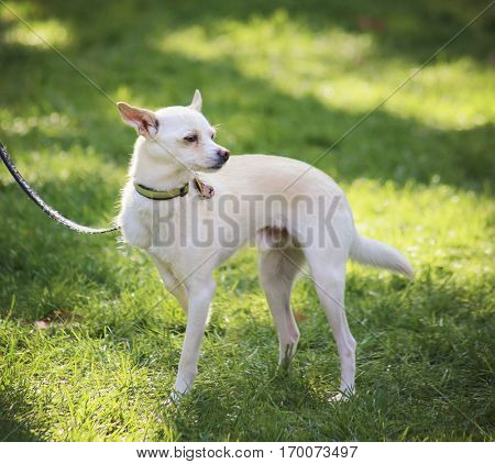 a cute chihuahua at a local park on a sunny day in the summer