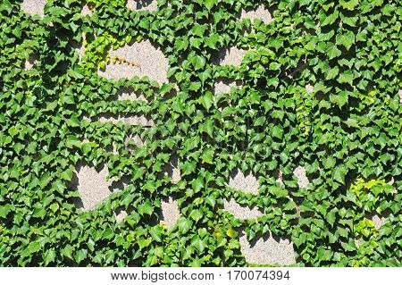 Hedera Plant On Stone Wall