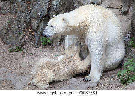 Six-month-old polar bear (Ursus maritimus) sucking its mother.