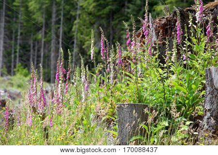 Many Foxglove flowers in the meadow