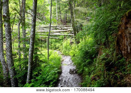 Walk way through lush green forest